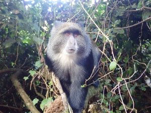 Blue Monkey at Big Tree Camp